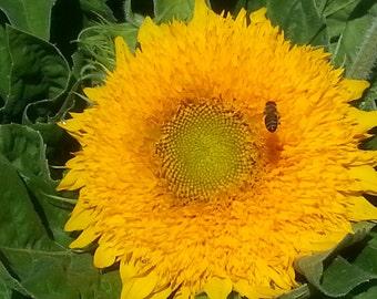 Teddy Bear Sunflower Seeds short sunflowers heirloom seeds kids seeds flower seeds sunflower wreath sunflower seed packets cut flowers