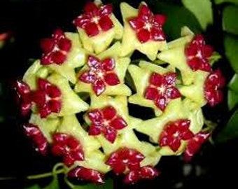 Orchid hoya yellow red Seeds , orchids seeds, rare orchids, code 277 , orchid collection, gardening, flower seeds