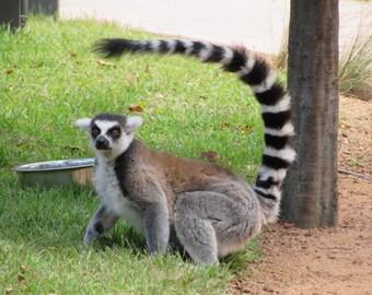 Ring-tailed Lemur 2