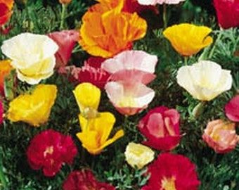 Poppy- Oriental- 500 Seeds,