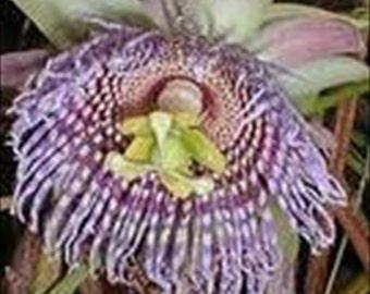 Passiflora Passion Flower Ligularis-Sweet Grenadilla * Seeds