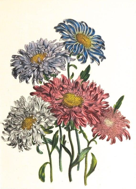 1948 print by Jane Loudon, Chinese Asters, blue, pink, white, print taken from botanical plate, matted for framing, 8 x 10 inches
