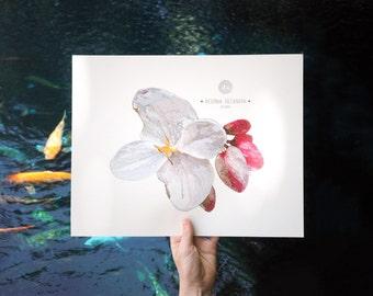 Begonia decandra Art Print Illustration