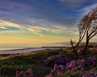 Nightfall in Carlsbad, Limonium Perezii, Sea Lavendar, Ocean, Sunset, Coast, Carlsbad, California