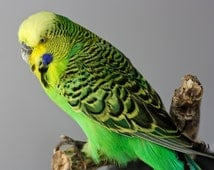 taxidermied budgie parakeet bird real stuffed tropical taxidermy wings