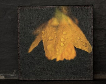 Yellow Daffodil after the rain