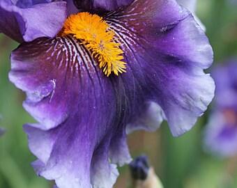 Purple Iris Flower Photograph - Instant Digital Download
