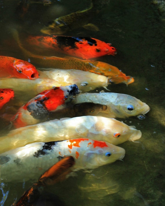 """Metal Art Print """"Buffet Line"""", Koi Photography Printed on Aluminum with Flush Frame, Various Sizes, Special Order"""