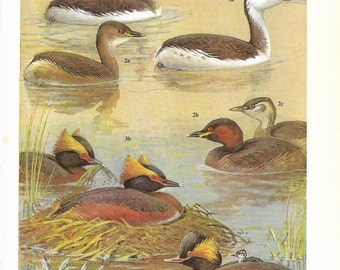 Vintage Birds Coloured Book Plate - Grebes - Ideal For Framing # 5