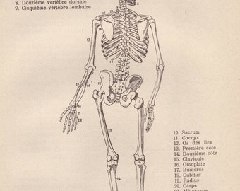 Human skeleton, original 1907 medical print - Anatomy, bone structure, physiology - 109 years old French book illustration (C091)