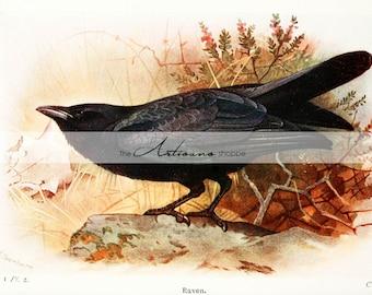 Printable Instant Download - Raven Looks Up Vintage Antique Illustration - Paper Crafts Scrapbooking Altered Art - Crow Raven Black Bird