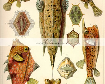 Fish Ostraciontes by Ernst Haeckel - Digital Download Printable Instant Art - Paper Crafts Scrapbook Altered Art - Sea Ocean Beach Art
