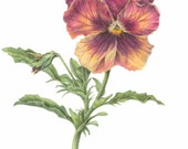 """Pansy, unframed botanical art print, colored pencil drawing, 8"""" x 10"""" framed size"""