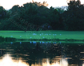 Egret Flock Photo Print; Bird Photography, Wildlife Photography, Nature Photography, Sunrise Photography, Lake Photo || PHYSICAL PRINT