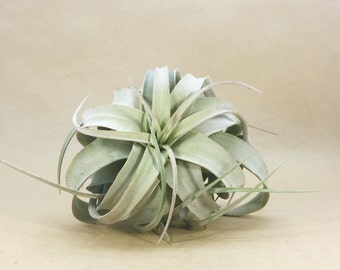 Tillandsia Xerographica Air Plant (Small) // Hello Tilly Airplant