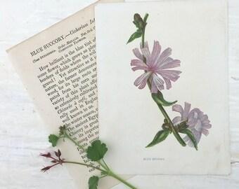 1883 Anne Pratt Wild Flower Botanical Print Book Plate Blue Succory