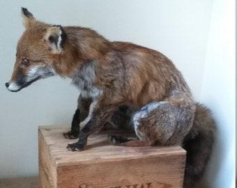 Taxidermy fox cub
