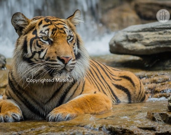 Tiger, Tigers, Sumatran Tiger, Big Cats, Cats, Fine Arts Prints, Nature Photography, Wildlife Photography, Photos