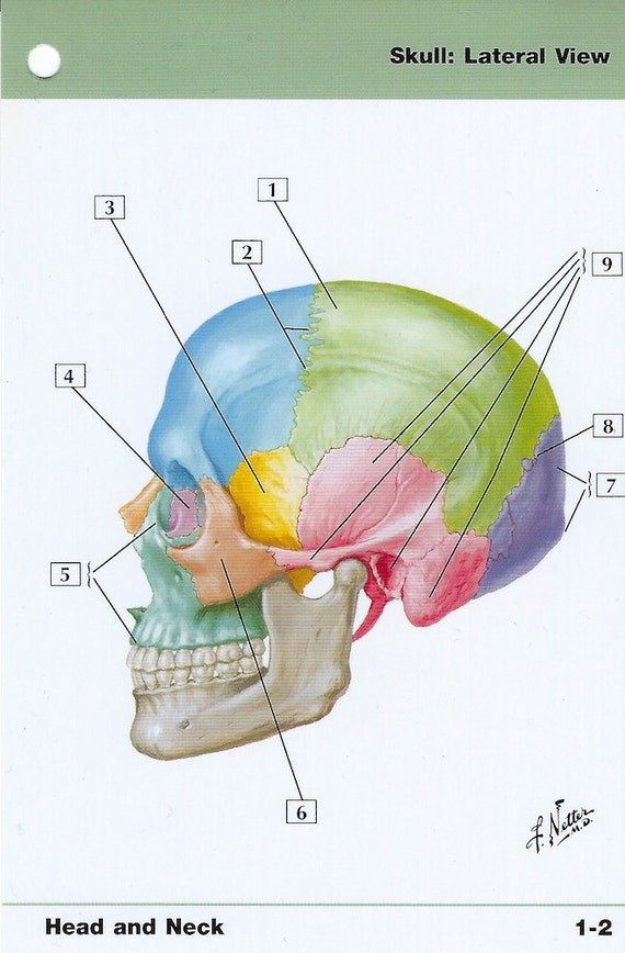 Skull Lateral View Anatomy Flash Card By Frank H Netter To