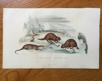 1837 ANTIQUE BEAVER ENGRAVING - original antique print - hand colored engraving - Buffon Natural History - Canadian beaver, Canadian otter