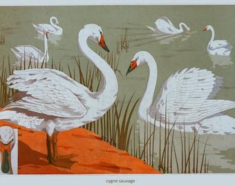 antique french white wild swans illustration digital download