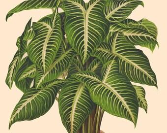 antique french victorian botanical print phyllotaenium elephant ear tropical green plant illustration digital download