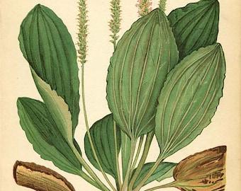 Botanical Weed Illustration Book Page  51 - RIB GRASS
