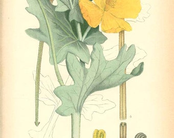 YELLOW HORNEDPOPPY - Vintage Botanical Book Plate 185