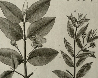 1793 Antique botanical print of GUAVA TREE, leaves, fruits and flowers. Yellow guava. Lemon guava. Psidium guajava. 224 years old engraving