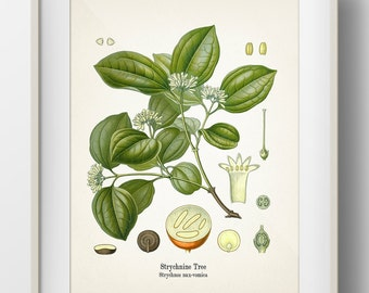 Strychnine Tree - Strychnos nux-vomica - KO-44- Fine art print of a vintage botanical natural history antique illustration