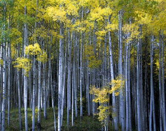 Aspen Trees Autumn Fall Forest Morning Light Yellow Gold Leaves Fall Colorado October Rustic Cabin Lodge Photograph