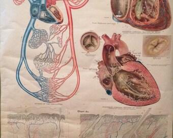 Anatomical Wall Hanging - Circulation, Heart & Skin - Frohse Anatomical Chart