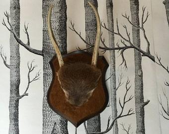 Vintage Mounted Deer Antlers With Fur Base on Wood Plaque
