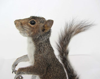 Sidney Squirrel - taxidermy grey squirrel