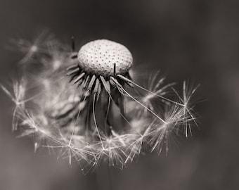 Summer - Dandelion #4423 - Fine Art Photography, Nature Photography, Digital Art, Seasonal Art - Black and White Photography