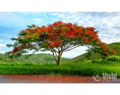 Flamboyant Tree Print, matted, landscape print, red tree, colorful wall art, colorful wall decor, red green blue, flamboyan, blossoming