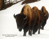 """Bison Photography, """"Yellowstone Bison in Winter"""" Print, Bison Print, Bison Wall Art, Wildlife Photography, Animal Wall Art, Bison Note Cards"""