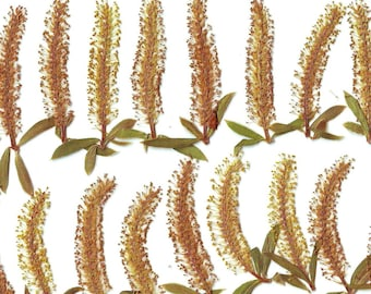 Pressed Flowers of willow( 25 pcs ). Ocher. Green.Dried Flowers. For  Oshibana. Decor,Design,Scrapbooking. Cards. Jewelry