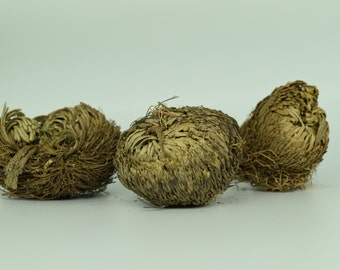 Plant of Resurrection, Rose of Jericho- Blessings plants, Everlasting plant