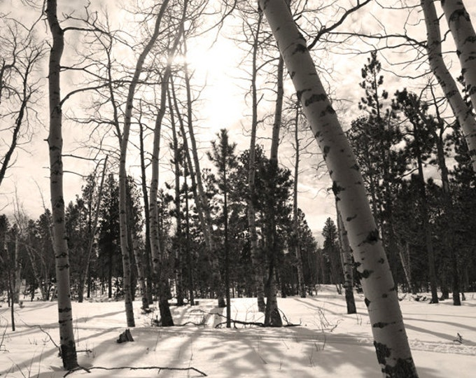 Aspen Tree Photo Birch Tree Photography Snow Photography Frosty South Dakota Black Hills Tree Scene Winter Photography by Nicole Heitzman