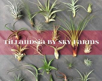 20 assorted Tillandsia air plants - FREE SHIP treasury wholesale bulk lot collection