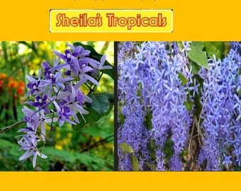 Petrea volubilis Queens Wreath Vine Starter PlantWhile Supplies Last