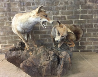 Bert and Ernie, Antique foxes taxidermy (uk only)