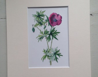 1879 WILD GERANIUM flower print, colour, original, vintage, botany - matted and ready to frame