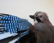 Jay In Flight, Taxidermy - Spread Winged Jay Bird, Beautiful Blue Feathered Decorative Wall Mount