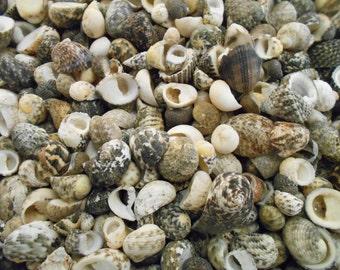"""50 Mixed Nerita Shells Seashells 1/2""""-3/4"""" (12-18mm) Craft Aquarium Decor Beach."""