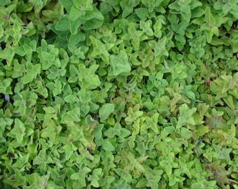 Oregano (500=>64.000 seeds) Vulgare heirloom organic italian greek bulk #193