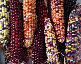 Indian Ornamental Corn ( 25 thru 1600 seeds ) heirloom flint many color fall MST