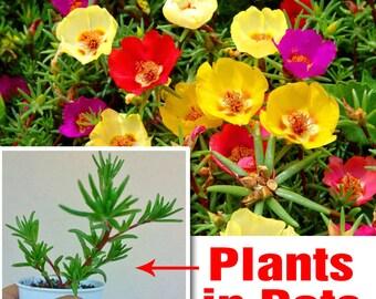 Portulaca Grandiflora Plants in Pots (3 plants) - Moss Rose Succulent - Mixed colors