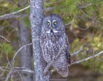 Great Grey Owl Photo, Owl Print, Nature Print, Bird Picture, Bird Photography, Wall Art, Camouflage, Camo, Hidden, Hiding, Great Grey Owl